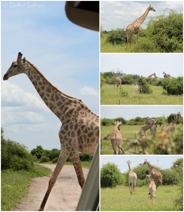 Giraffe spotted on an African Safari Animals Drive in Botswana Chobe NP StuffedSuitcase.com