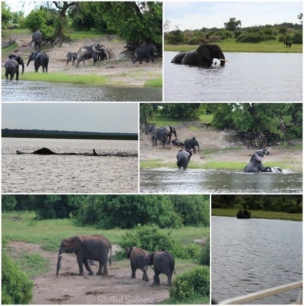 Africa Safari Chobe River Elephants