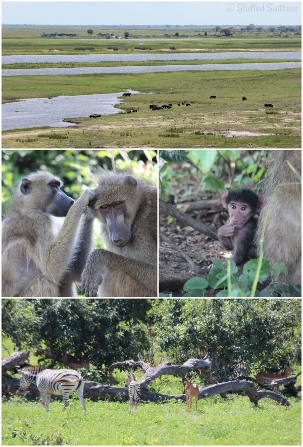 Amazing Safari Animals seen when driving in Chobe National Park Botswana StuffedSuitcase.com