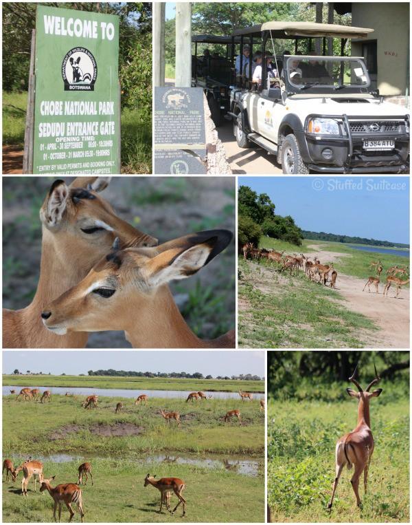 Safari Animals: Antelope in Chobe NP Botswana Africa StuffedSuitcase.com