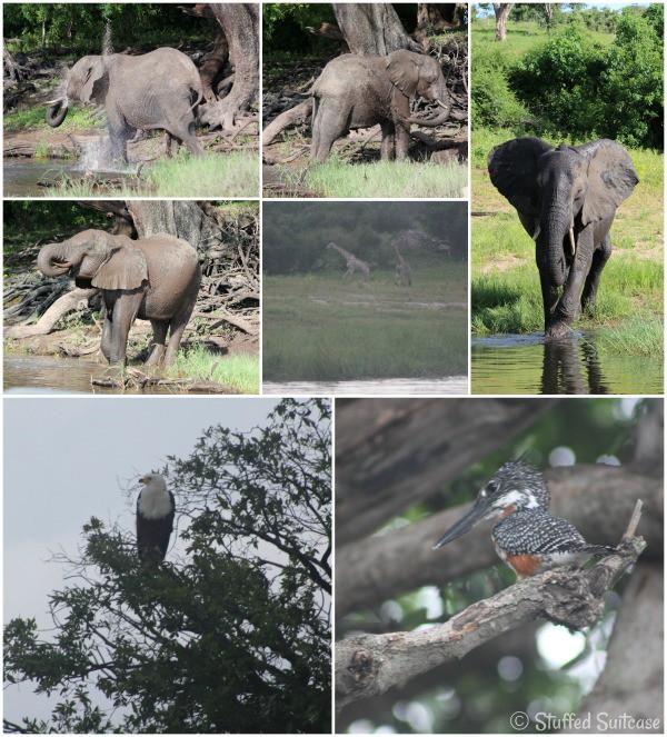 Wildlife along the Chobe River Botswana Africa