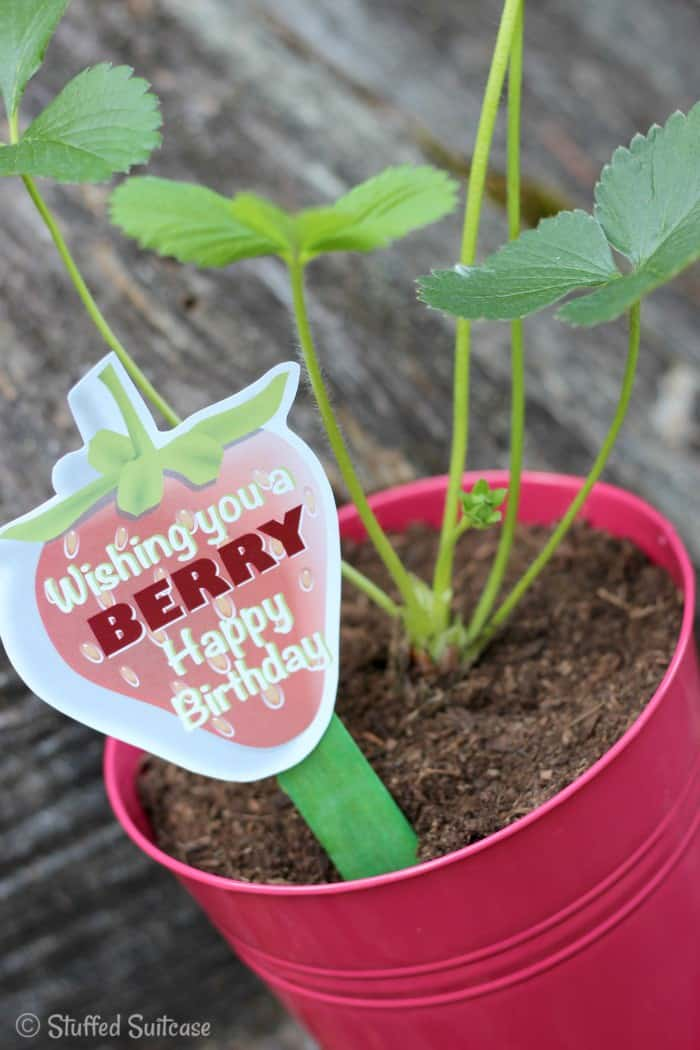 "Strawberry Plant gift for a ""Berry Happy Birthday"" free printable StuffedSuitcase.com"