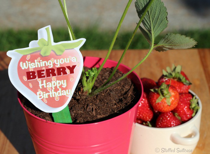Give a strawberry plant as a gift with this Berry Happy Birthday free printable StuffedSuitcase.com