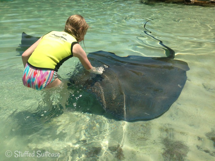 Giant Stingray at Discovery Cove