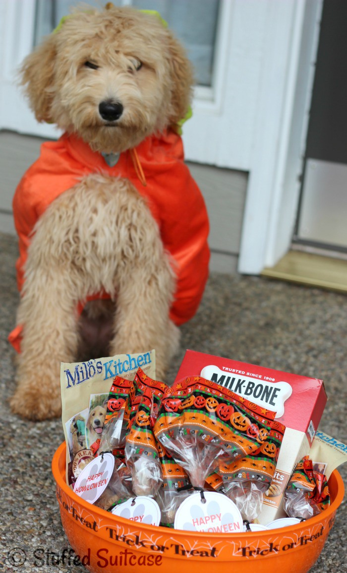 Happy Howloween from Sophie the Pumpkin Labradoodle