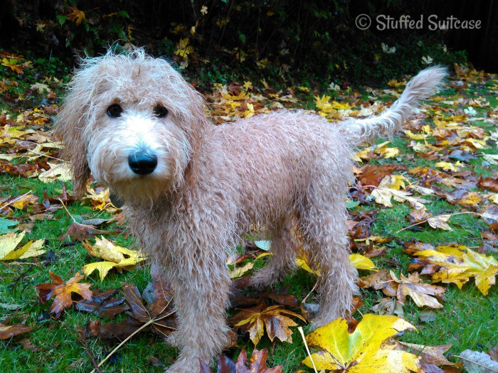 Labradoodle in the Rain