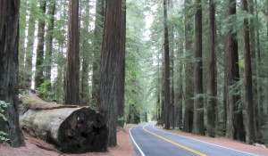 Gorgeous drives through the Redwood Forest and Hwy 101 on our Seattle - California Roadtrip