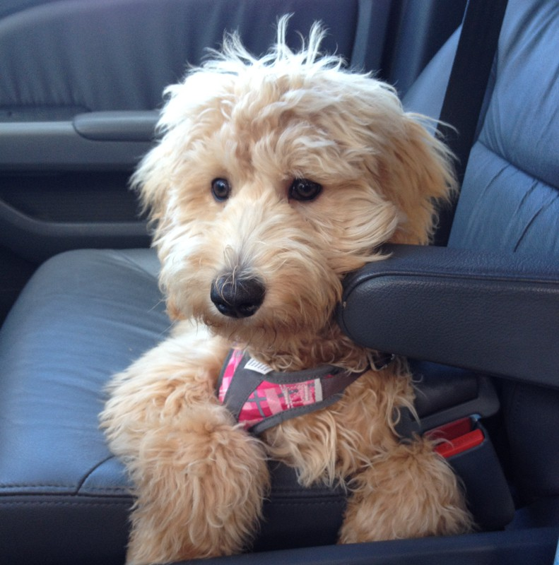 With a car harness, Sophie soon learned proper behavior in the car and now rides beautifully!