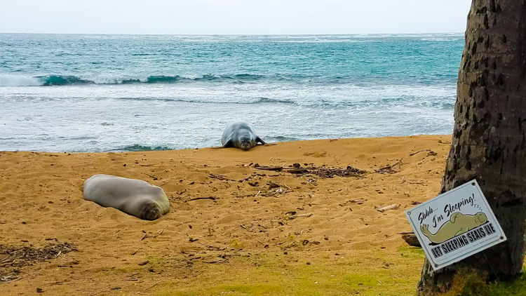 Hawaiian Monk Seals spotted along the eastern side of Oahu - wildlife spotting is a must do for travel to Oahu