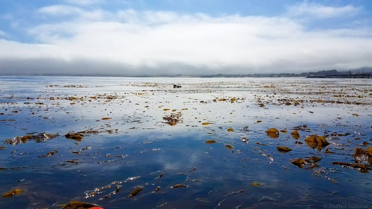 seaweed and sea otters in monterey bay ca