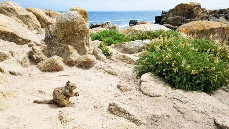 squirrel near rocks on coast near monterey ca