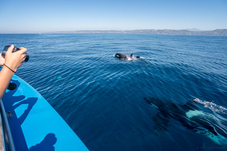 whale-watching-california-orca-whales