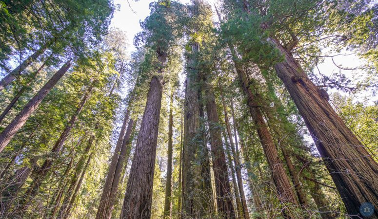 best places to see redwood trees in california