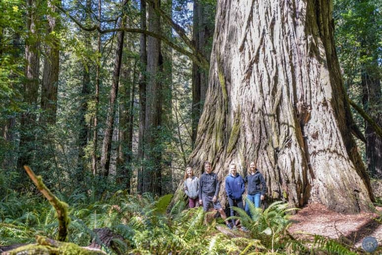 Iluvatar tallest redwood tree in Prairie Creek Redwood Park