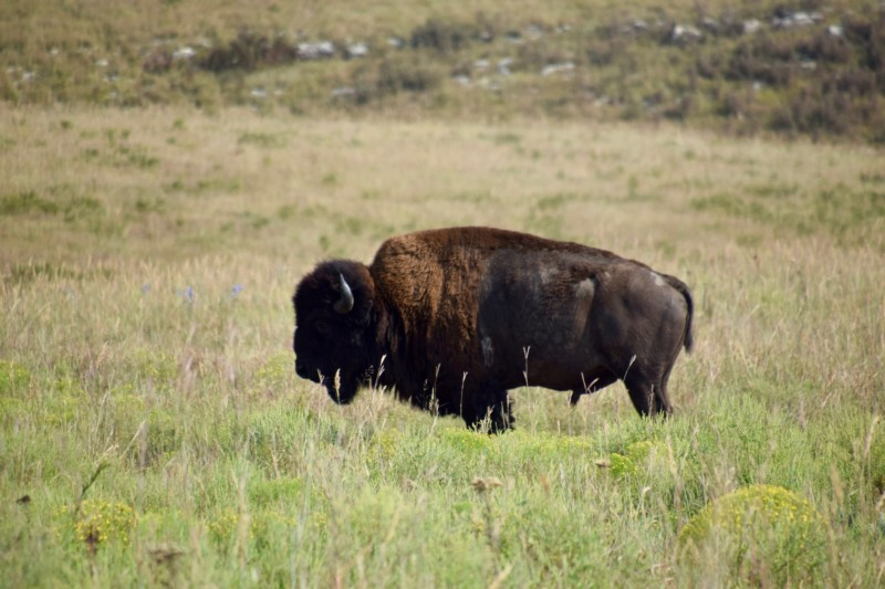 bison in flint hills kansas road trip