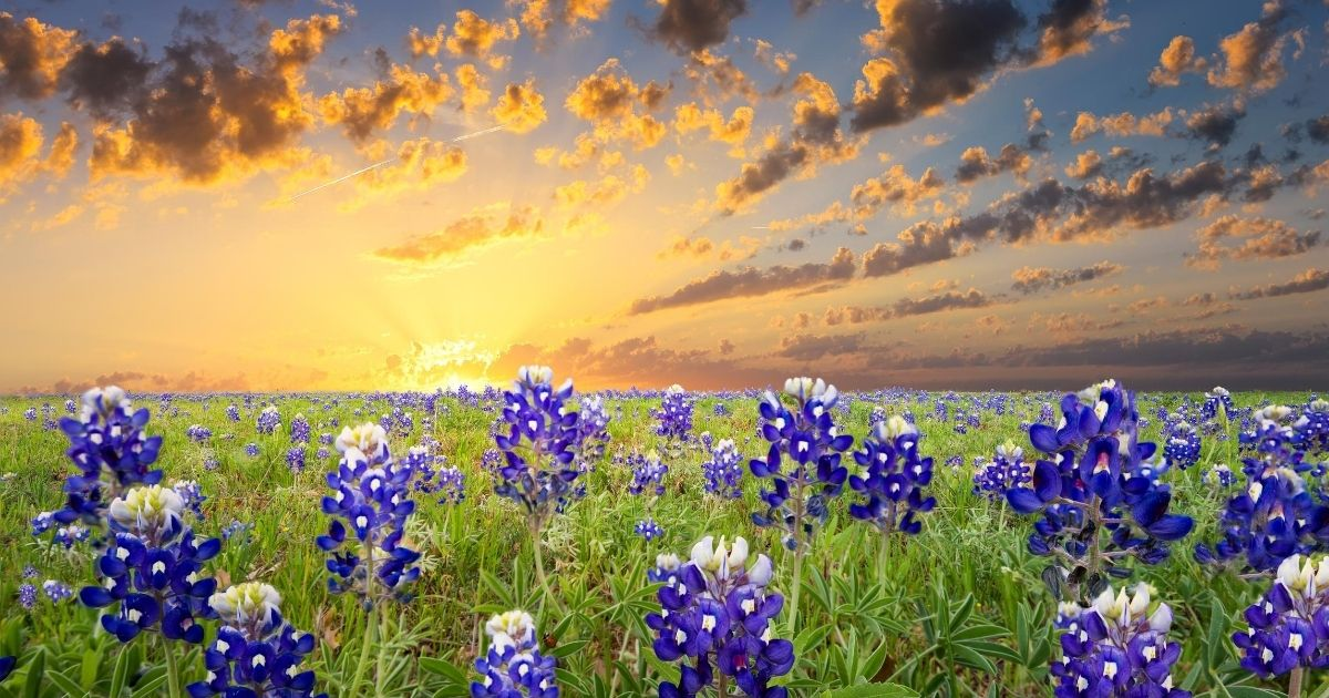 bluebonnets in field in texas photo from canva