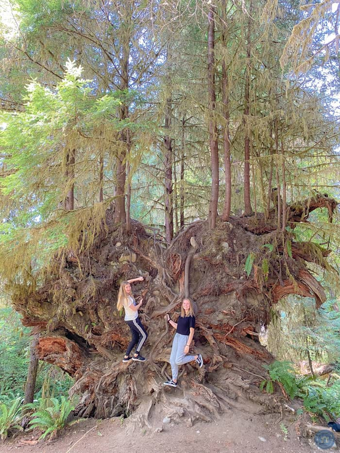 big trees at hoh rain forest in olympic national park