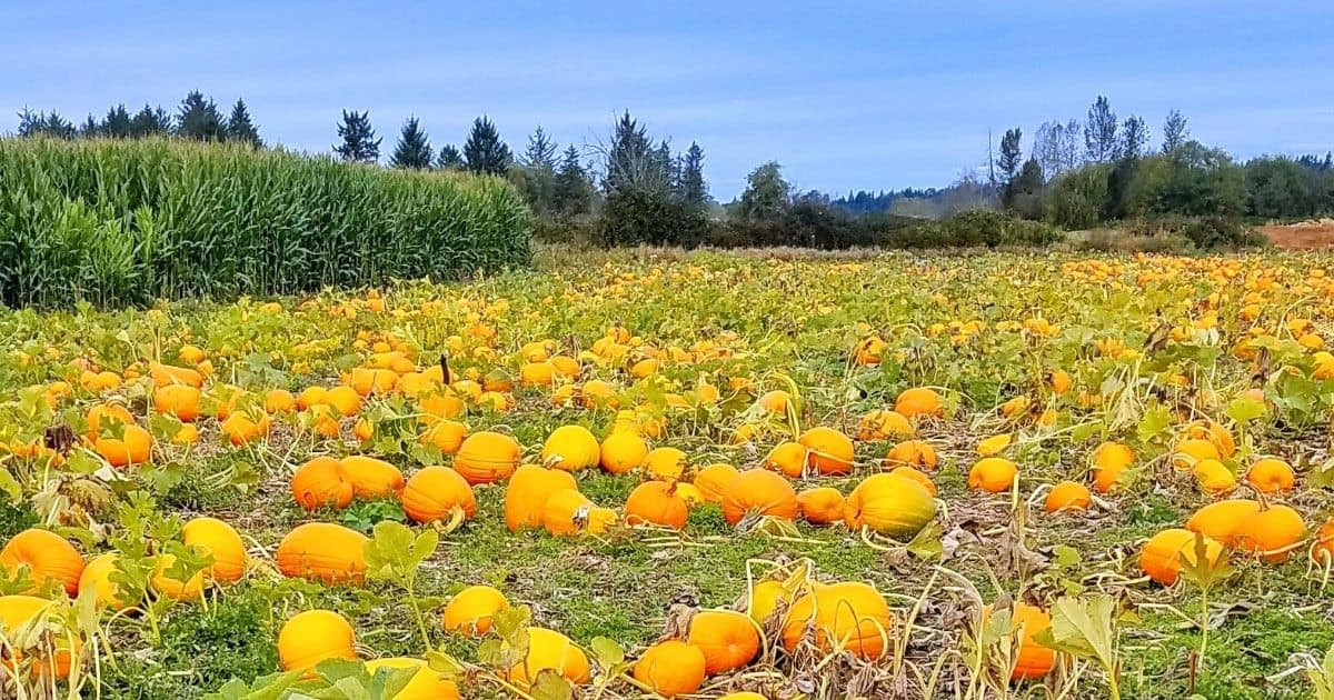 pumpkin patch field