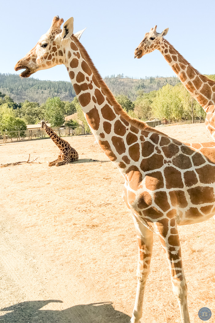 giraffes at safari west
